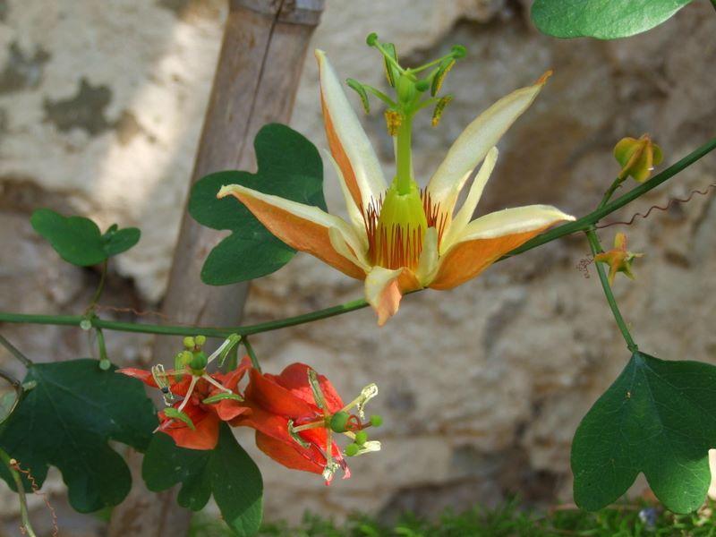 passiflora mediterraner garten in schwebsingen. Black Bedroom Furniture Sets. Home Design Ideas